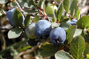 Blueberry-Arctic berries