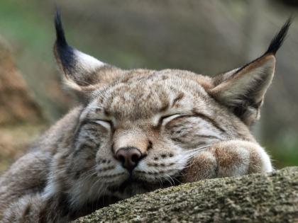 Eurasian Lynx in Slovenian forest